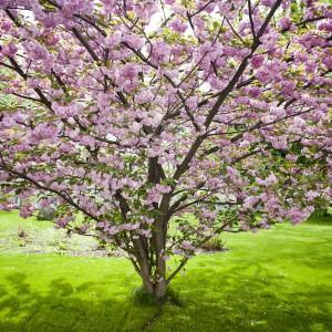 Main Campus, Japanese Flowering Cherry, photo