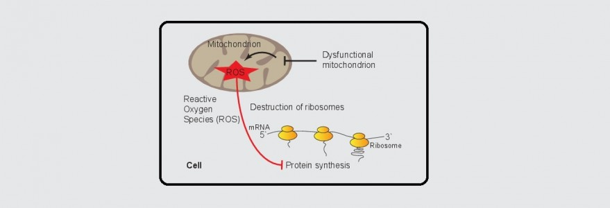 University Of Warsaw A New Mechanism Of Protein Synthesis Regulation