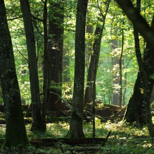 In summer, the temperature under the compact forest canopy can be few degrees lower than outside a forest. Photo: I. Smerczyński