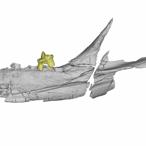Digital rendering of the holotype left dentary (KNK 4152 = NHMD 231331) of K. jenkinsi, gen. et sp. nov., from the mid-to-late Norian of the Fleming Fjord Formation, East Greenland. The dentary in lingual. Credit: PNAS