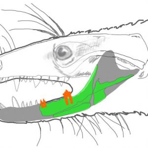 The life position of the preserved part of the dentary. Credit: PNAS