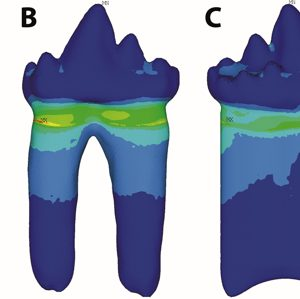 Stress distribution on the lingual and labial surfaces of 3D models of single- and double-rooted molariforms (for details of analyses, see SI Appendix). (A and B) The reconstructed molariform of KNK 4152 = NHMD 231331, the holotype of K. jenkinsi gen. et sp. nov., with a double root in lingual and labial views. C and D) Hypothetical molariform with a single root, based on the second molariform (m2) of KNK 4152 = NHMD 231331. Colors represent distribution of von Mises forces, with warmer colors indicating higher stresses. Credit: PNAS