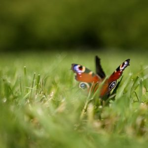 Butterfly in the gardens of the University of Warsaw Library