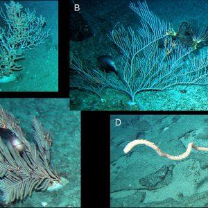 Fot. 2. Octocorals from the Tasmanian seas. A–Keratoisis sp.; B–Paracalyptrophora sp.; C–Callogorgia sp.; D–Lepidisis sp.